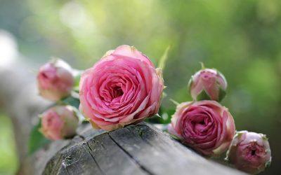 Les roses: de bons présents en toutes occasions